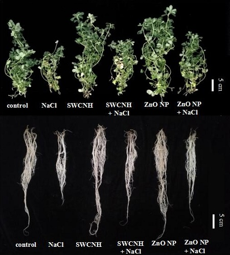 SWCNHs and ZnO NPs alleviated salt-induced growth inhibition. It shows the growth of leaves and roots