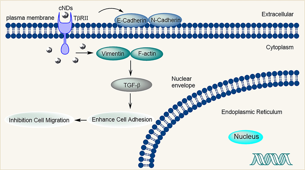 Scheme of Inhibition of Tumor Cell Migration by cNDs