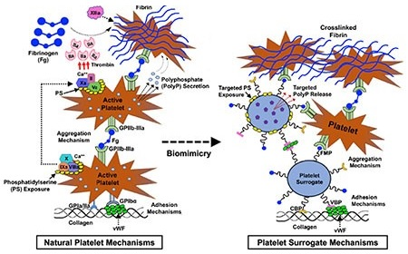 The function of the platelet surrogates compared to how natural platelets work.