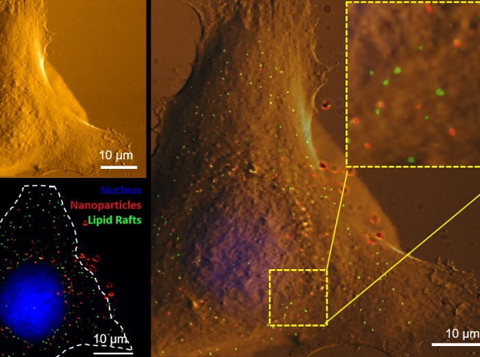 Using correlative atomic force microscopy and super resolution fluorescence microscopy to image the same cell