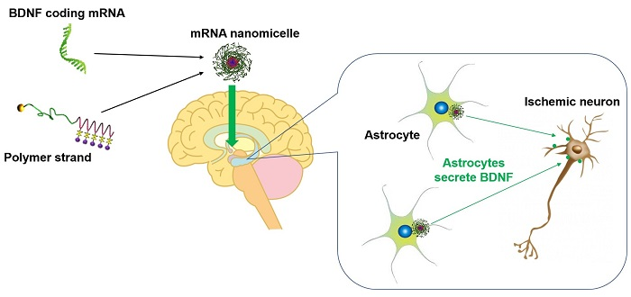 Brain-derived neurotrophic factor mRNA therapeutics for ischemic neuronal death using polyplex nanomicelle
