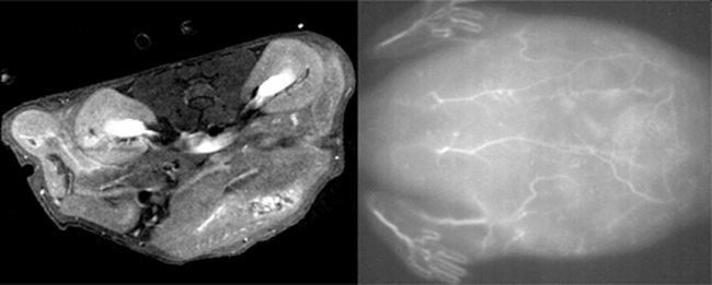 The scientists injected the nanoparticle solution into the tail veins of live mice and were able to obtain high quality MRI (L) and near-infrared fluorescence (R) scans of tissues and blood vessels