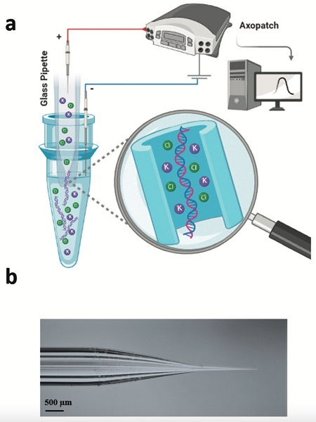 An illustration showing (a) how a glass tube with a tiny opening and a positive electrode, when inserted into a liquid sample and stimulated with electricity, collects cell-free DNA floating in the sample; (b) a photograph of the borosilicate glass nanopore
