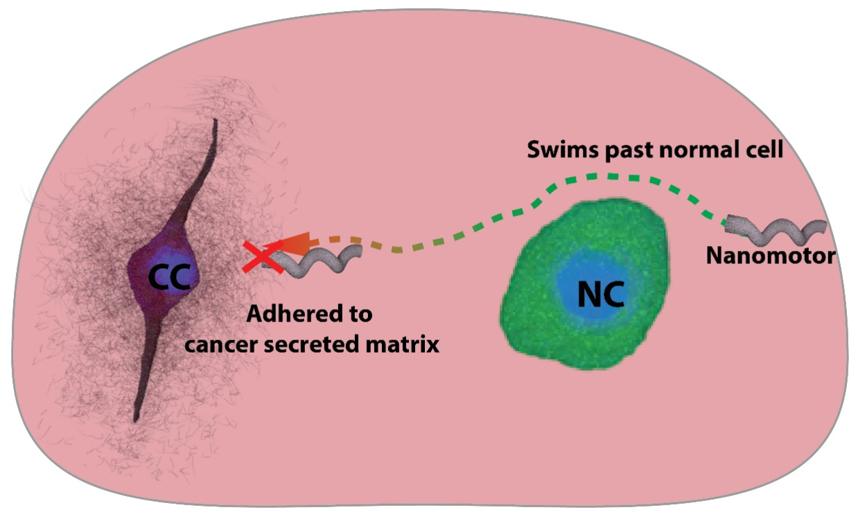 Nanomotors can swim past non-cancerous cells but adhere to the charged cancer secreted matrix in a tumor model