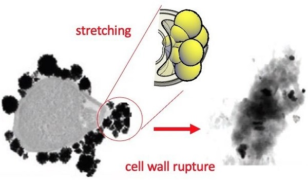 In the presence of nanoparticles, the cell wall of the bacteria ends up breaking seemingly by stretching